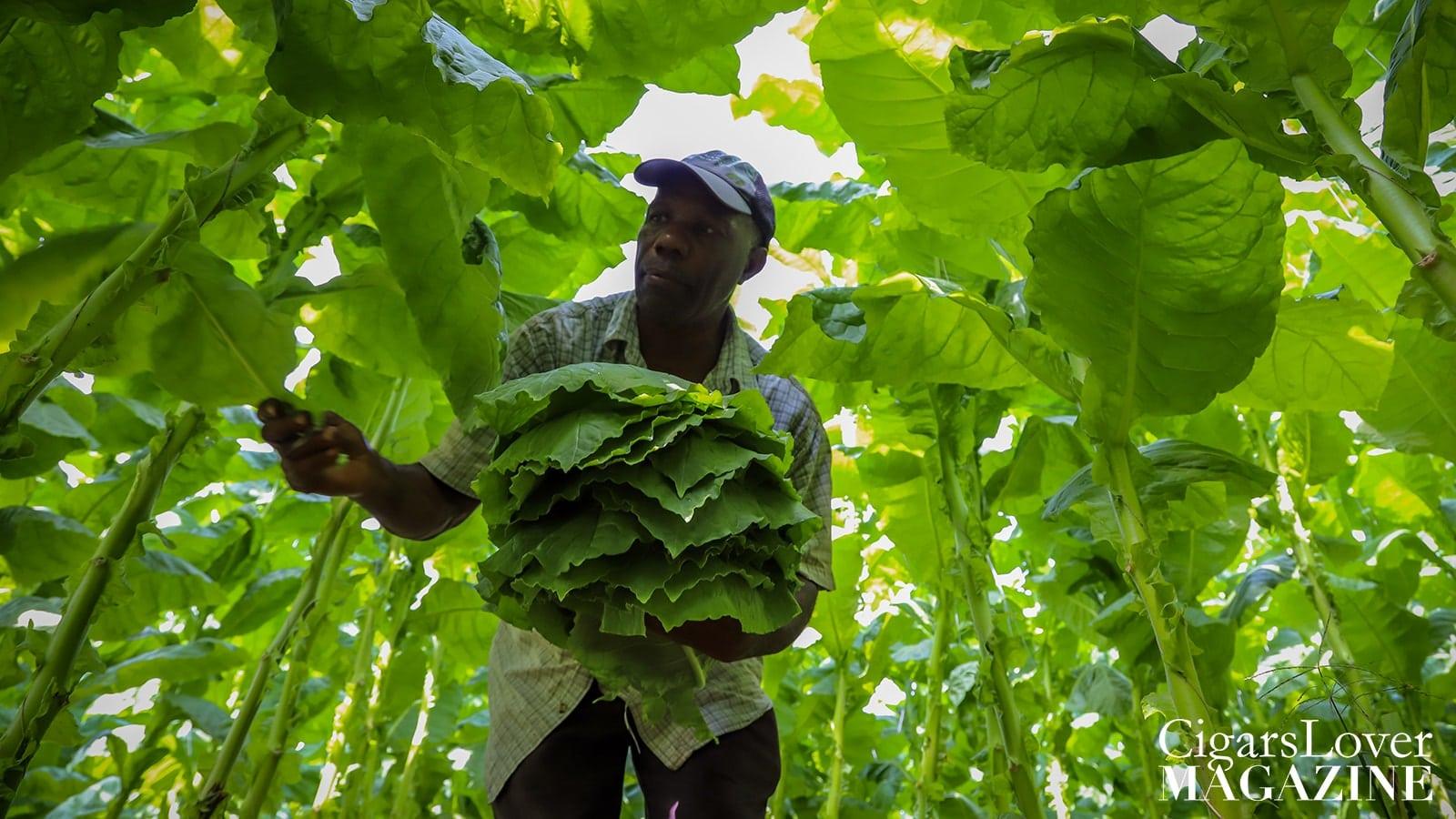 picking_tobacco_leaves-min