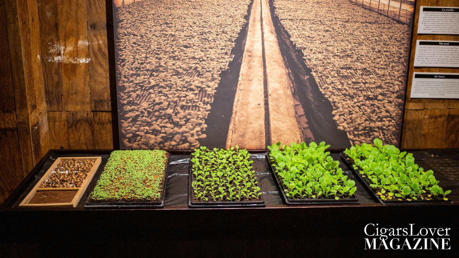tabacco_plant_growth