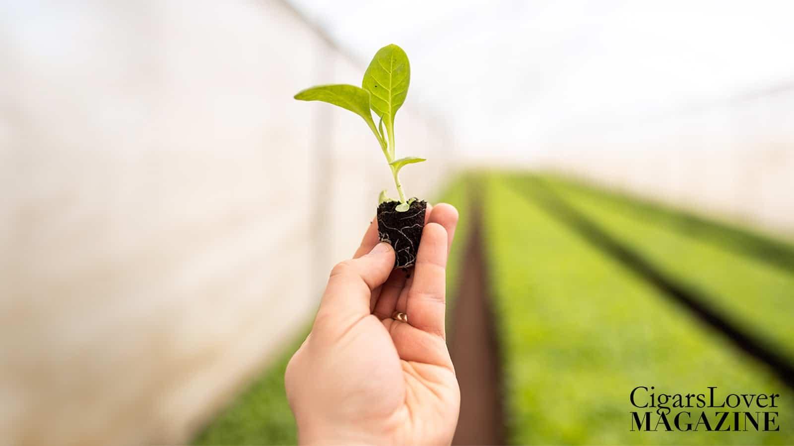 tobaco_plant_transplantation